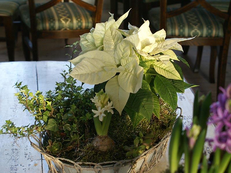 Julgrupp med vita blommor, hyacint och julstjärna