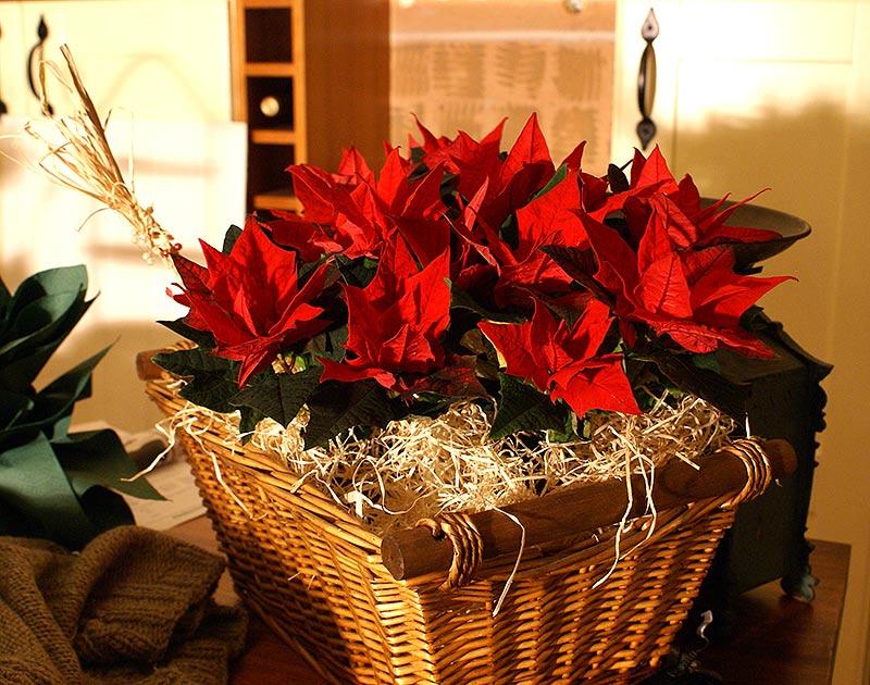 Röda julstjärnor i korg