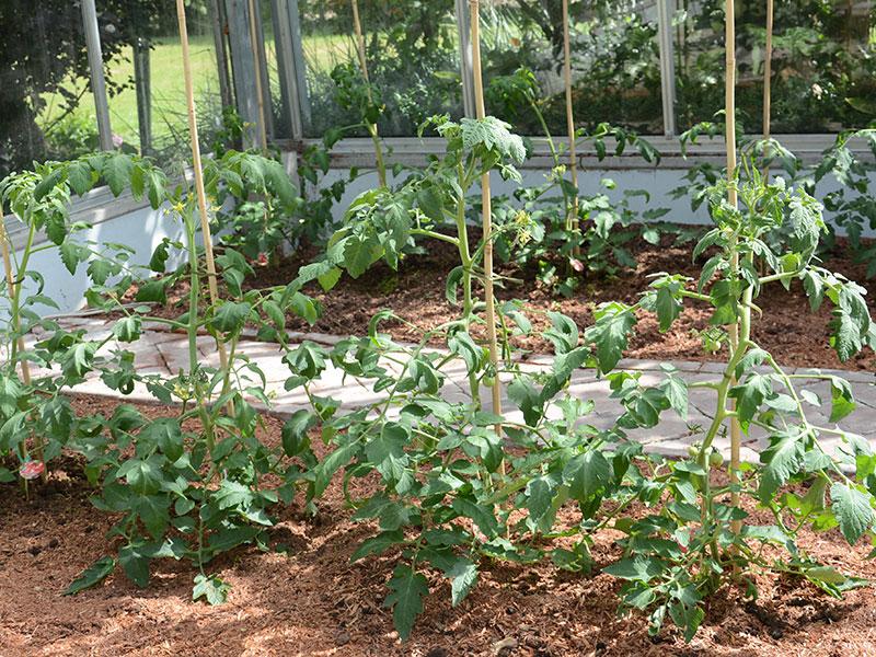 Tomater med täckodling i växthus