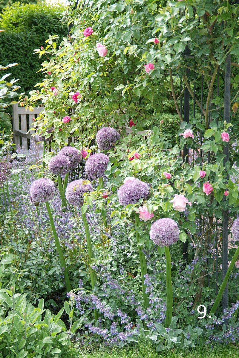 Allium bollök i trädgård