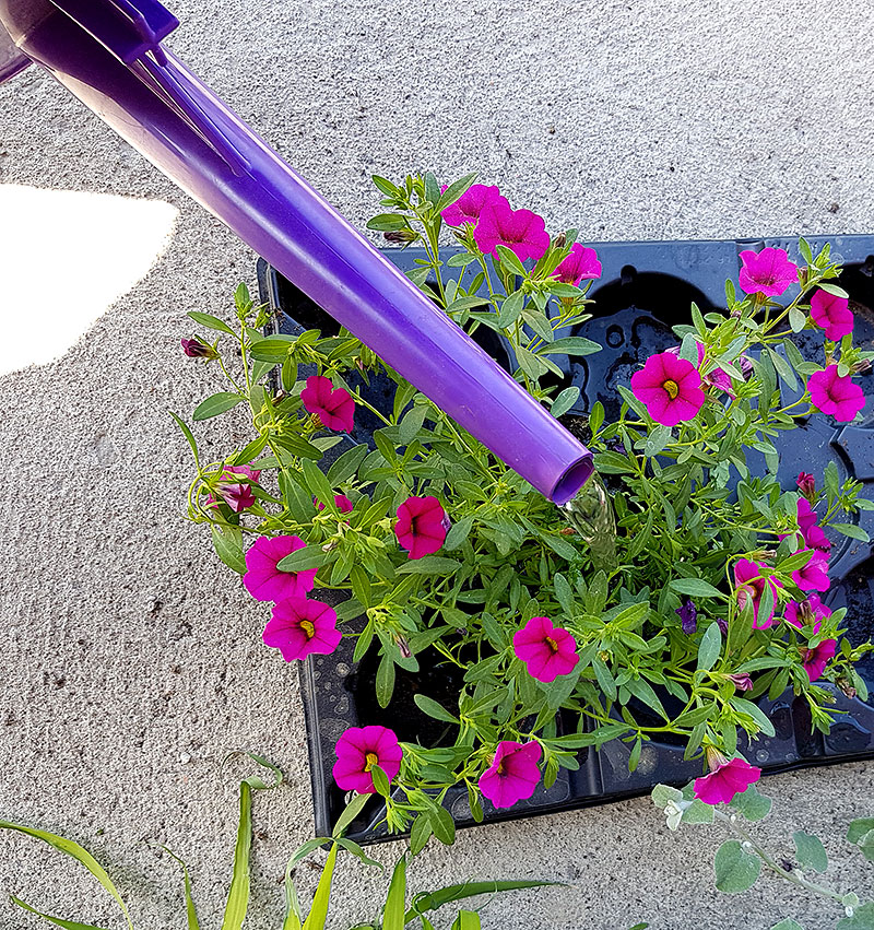 Vattning av plantor inför plantering i kruka
