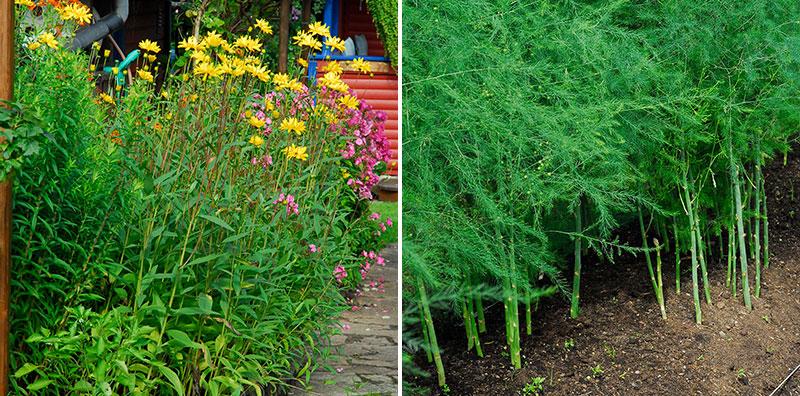 Torktåliga köksväxter jordärtskocka och sparris