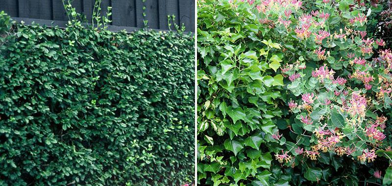 Klätterbenved, murgröna och kaprifol torktåliga klätterväxter