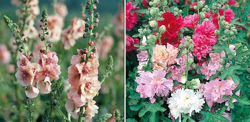 Kungsljus och stockros torktåliga blommor