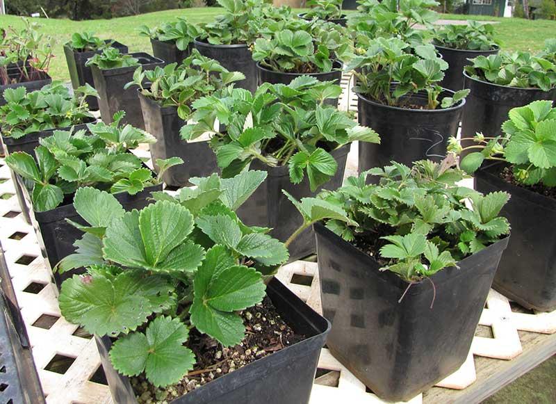 Jordgubbsplantor i odlingskruka