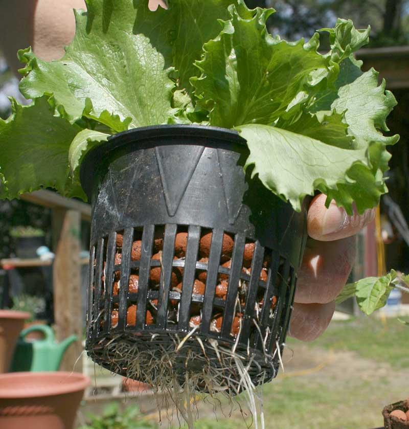 NÄtkruka med odling av sallad i hydrokultur