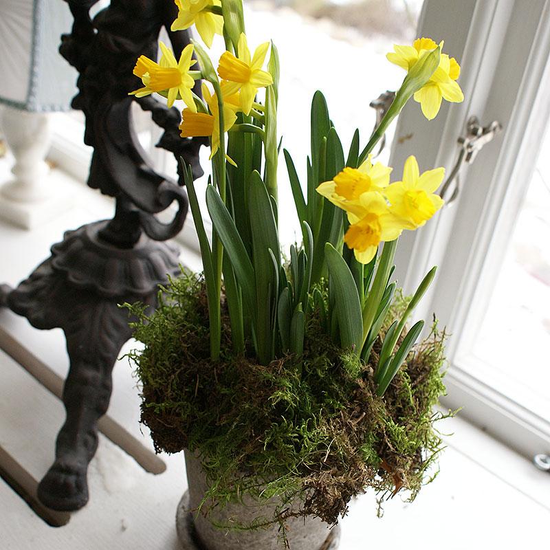 Tet-a-tet minipåsklilja planterad inomhus