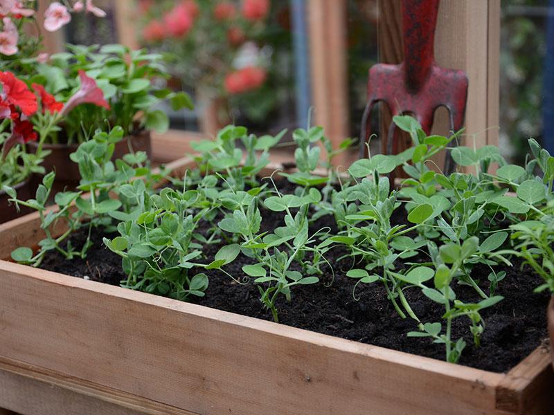 Odling av ärtskott i växthus