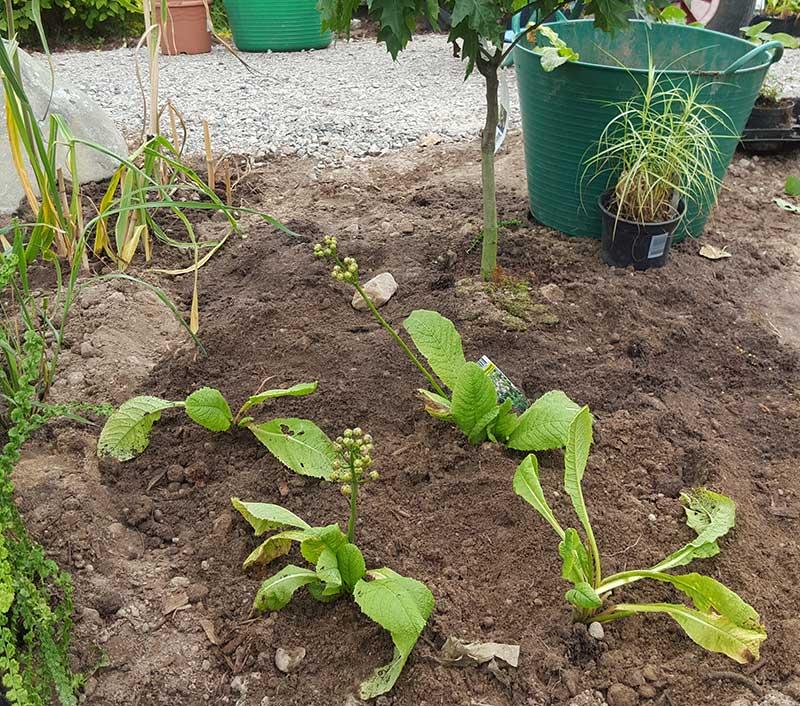 Vattning och plantering av perenner
