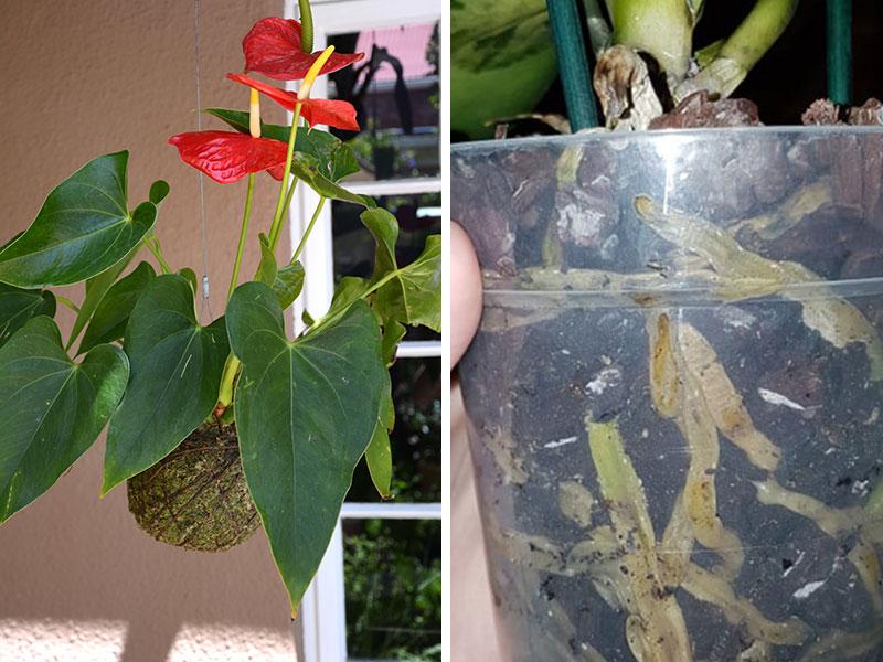 Vitmossa som kokedama och till ruttna orkidérötter