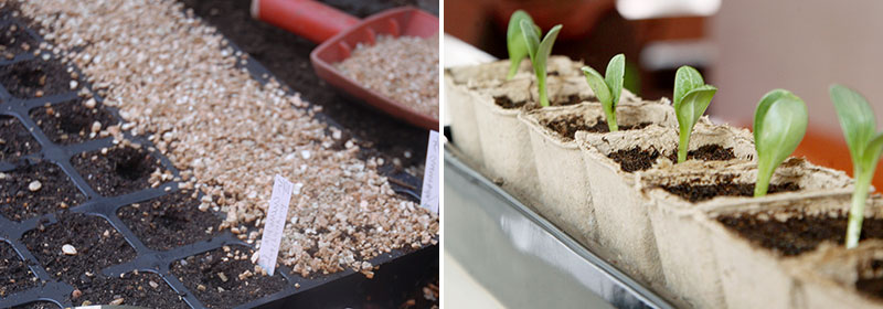 frösådd i brätte med vermiculite