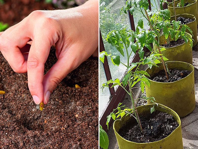 Frösådd av böna och tomatplantor i Viggoroot