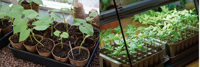 Plantuppdragning i fönsterkarm och under växtljus