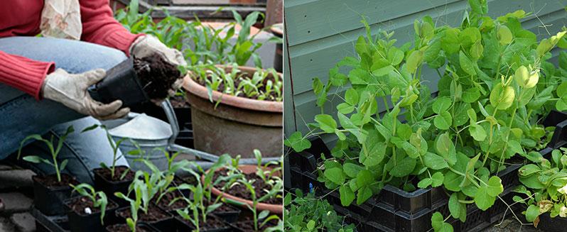 Utplantering av småplantor i trädgårdsland