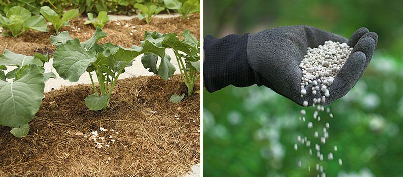 Gödsling av grönsaker med gräsklipp och hönsgödsel