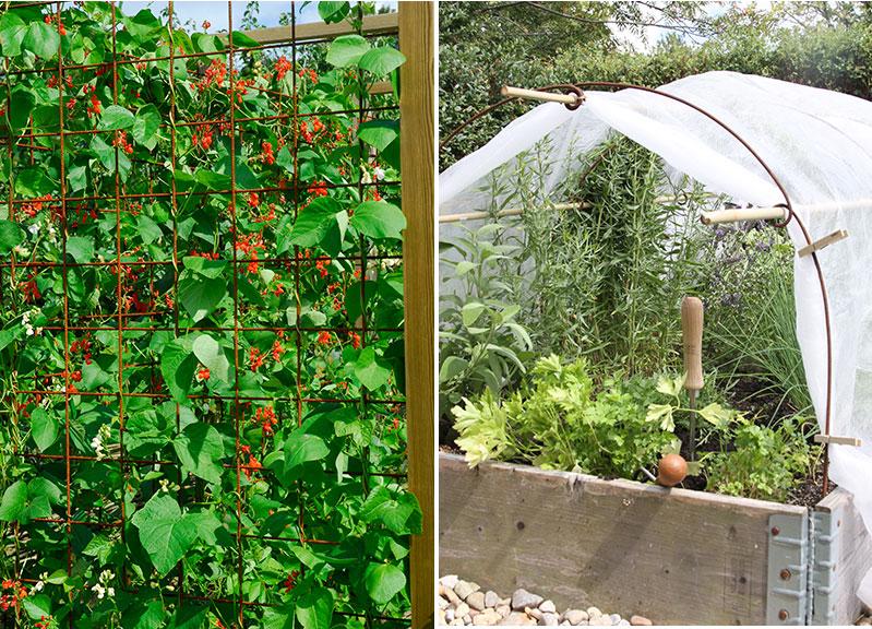Vägg av rosenböna på armeringsjärn och fiberduk för bra mikroklimat i köksträdgård
