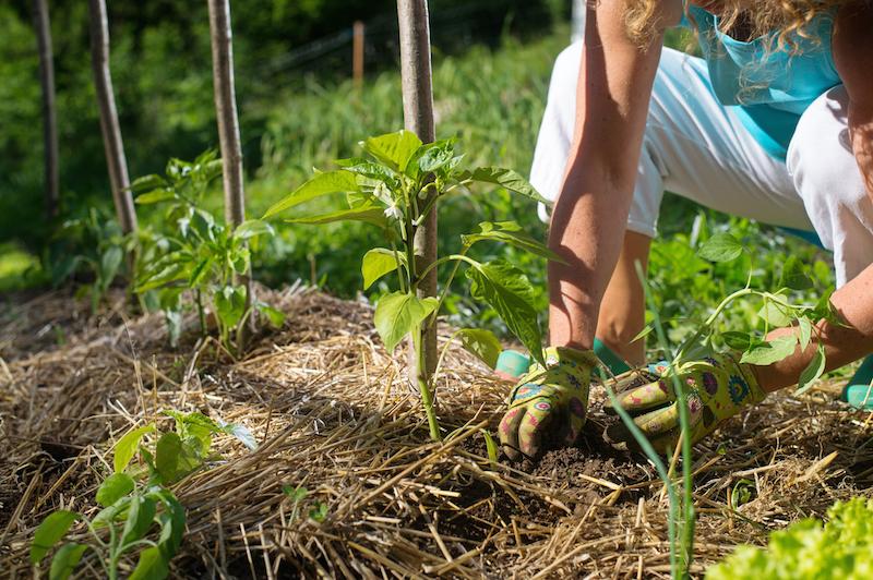 Täckodling med gräsklipp i köksträdgård
