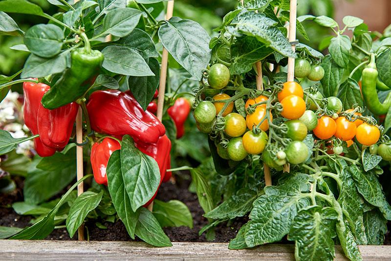 Krukodling av paprika och tomat