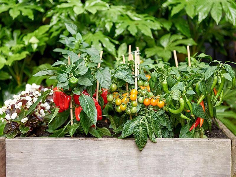 Krukodling av köksväxter paprika tomat chili