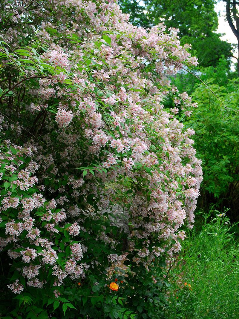 Paradisbuske i full blom