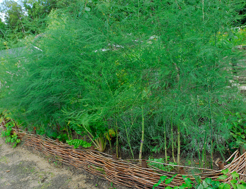 Sparris i odlingsbädd
