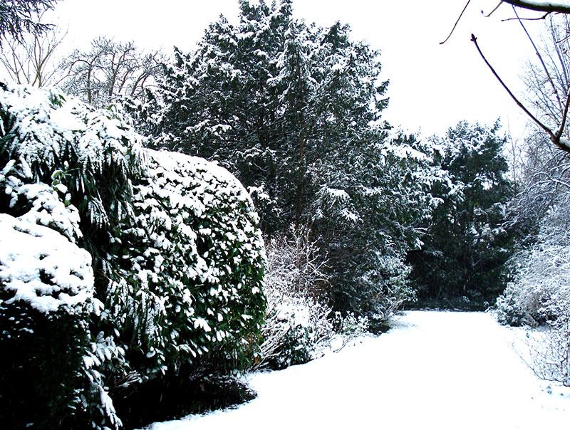 Vintergröna växter med snötäcke