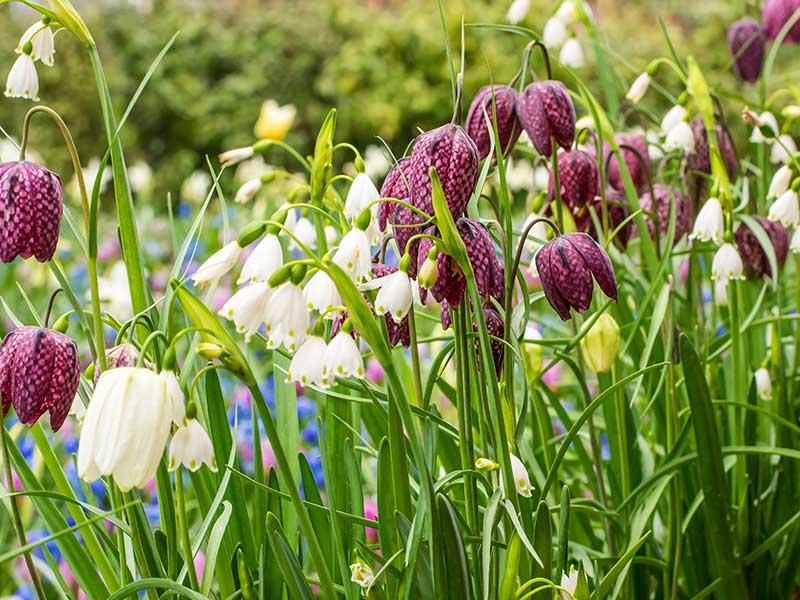 Kungsängslilja och klosterlilja i blom