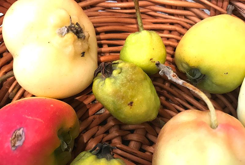 Äppelkart angripna av bladlöss, kattäpplen