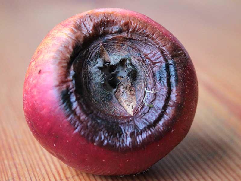 Fruktträdskräfta som röta på äpple