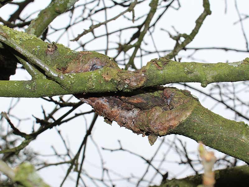 Fruktträdskräfta i grenar på plommonträd