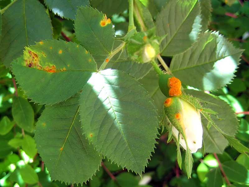 Rosrost på blad och blomknopp