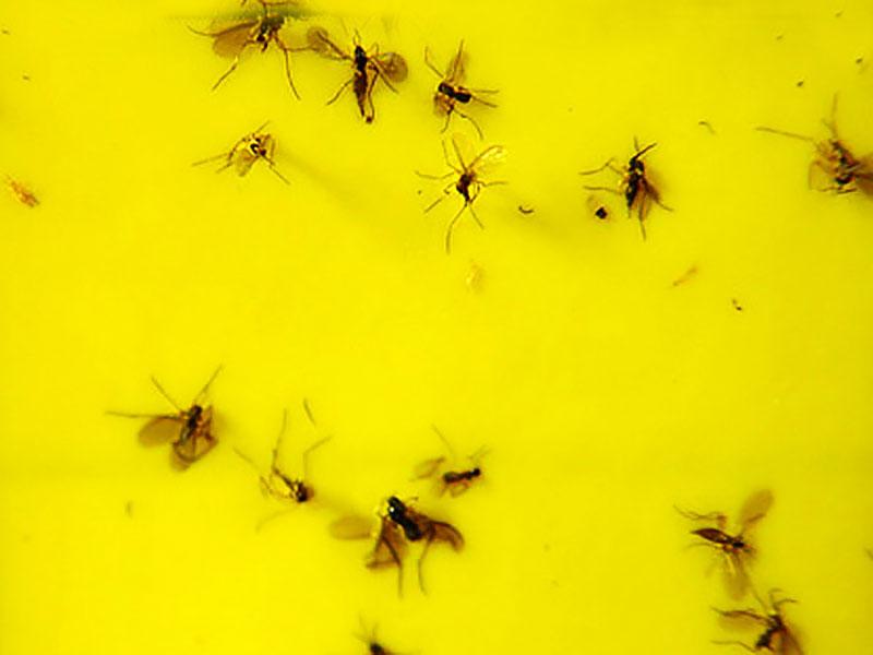 Sorgmyggor och blomflugor som fastnat på klisterskiva