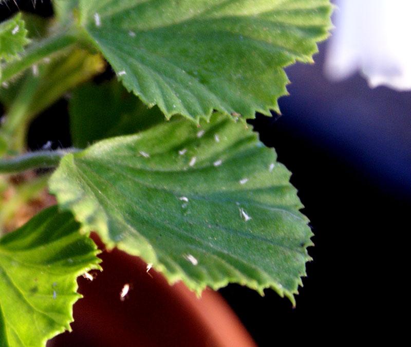 vita skinn från bladlöss på ett pelargonblad