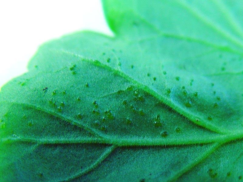 Sugmärken på undersidan av bladet från mjöllöss
