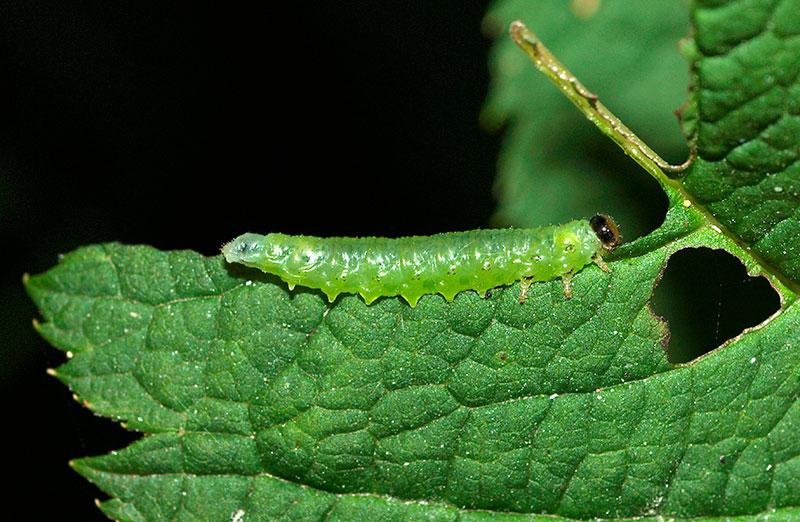 stekellarv pa spirea nematic spiraeae