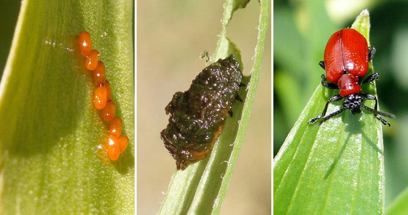 Ägg, larv och skalbagge av liljebagge
