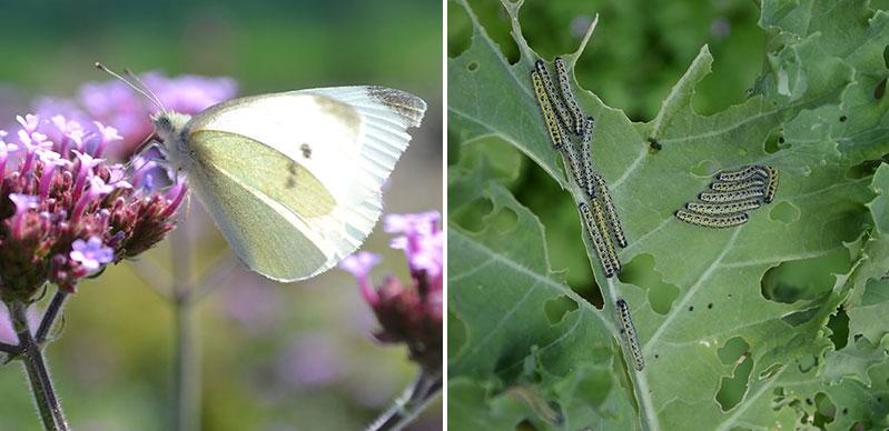 Fjäril och larv av kålfjäril