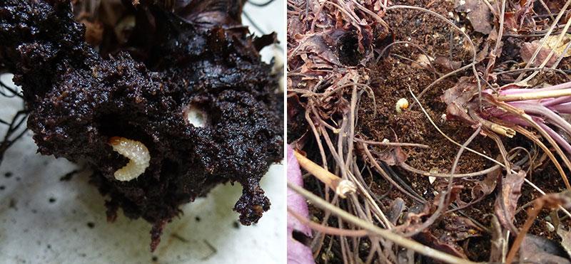 Öronvivel larv på perenner