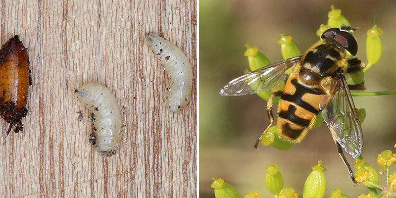 Kokong, larv och fullbordad fluga av blomfluga