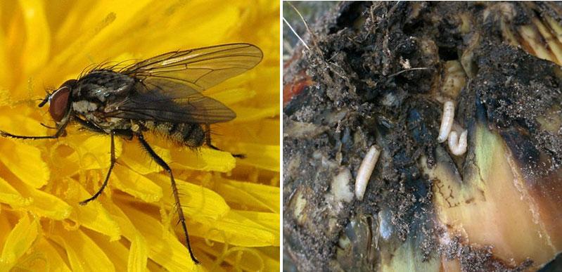 Lökfluga med larv