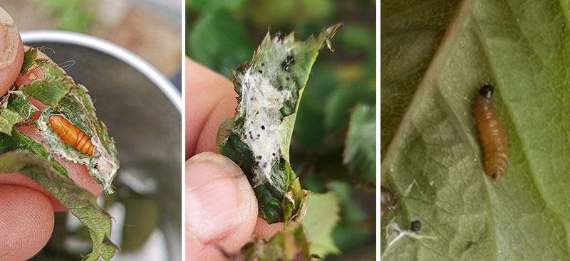 Olika stadier av vecklarfjäril på rosblad