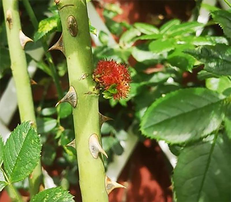 Gallbildning på ros från sömntornsstekeln, Diplolepis rosae