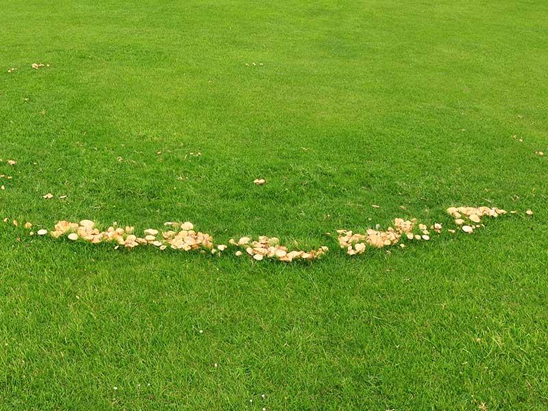 HÄxring med svampar i gräsmatta