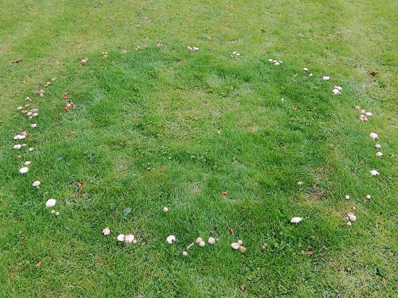 Häxring - svampar i gräsmattan