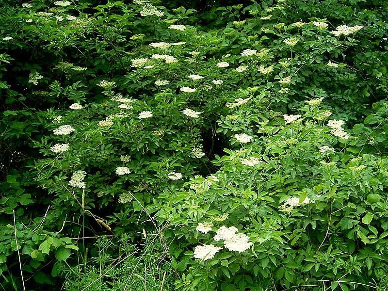 Fläderbuske med blommor