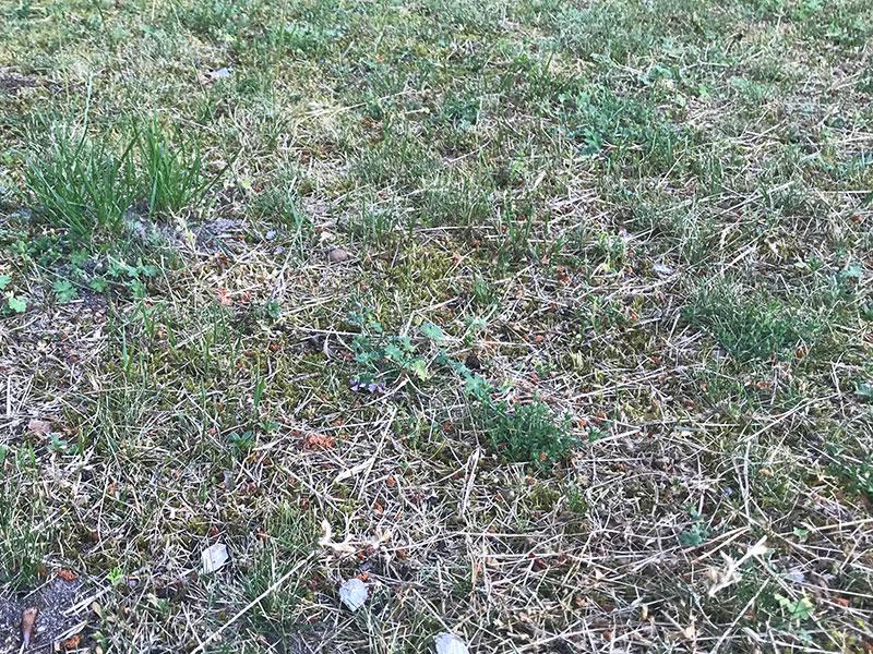 Skadad gräsmatta av skalbaggslarver
