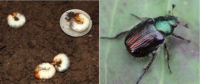 Skalbagge och larver av trädgårdsborre