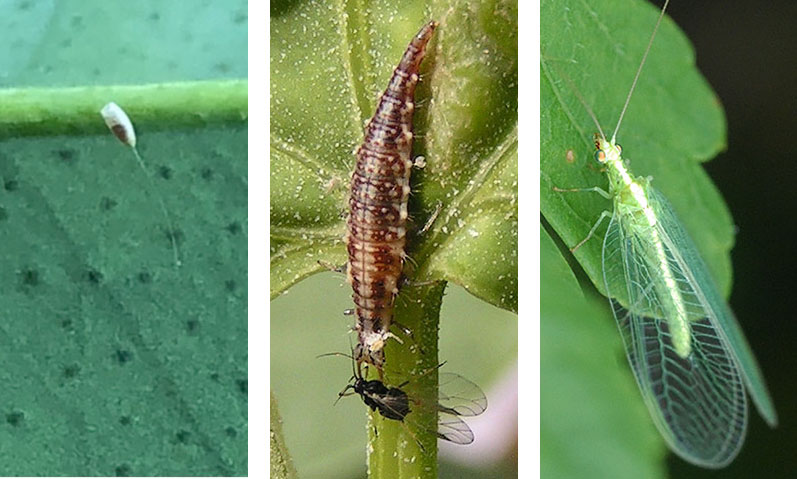 Ägg, larv och insekt av guldögonslända som nyttodjur