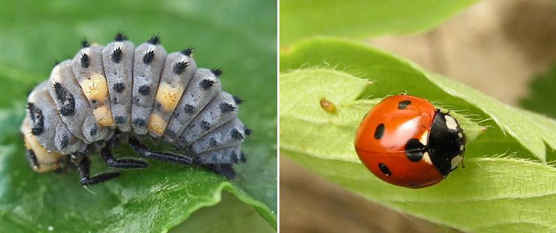 Larv och insekt av nyckelpiga som nyttodjur