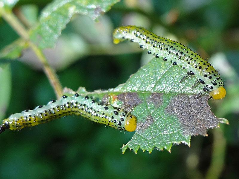 larver av stor rosenstekel